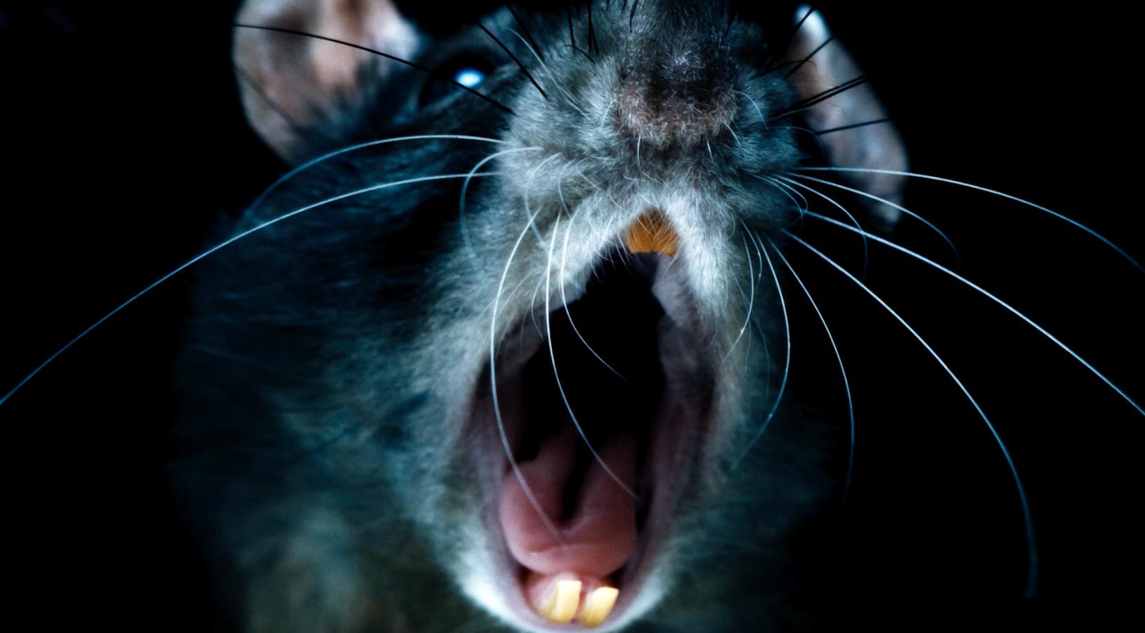 Pet Rat Art